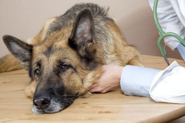 Leishmaniosi canina, c'è un vaccino